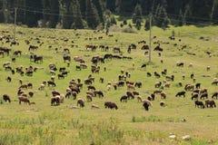 Pasto 2 da montanha de Quirguizistão fotografia de stock royalty free