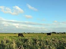 Pasto da vaca no campo, Lituânia Fotografia de Stock