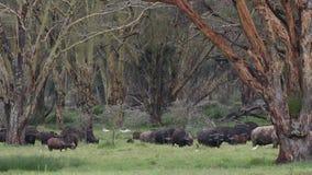 Pasto de búfalos africanos almacen de metraje de vídeo