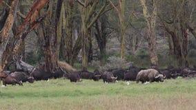 Pasto de búfalos africanos almacen de video