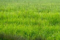 Pasto de Bahiagrass para la producción del ganado y del heno Fotografía de archivo libre de regalías