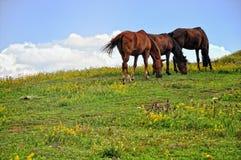 Pasto de caballos fotografía de archivo libre de regalías
