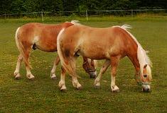 Pasto de caballos Fotos de archivo