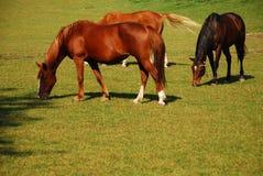 Pasto de caballos imagenes de archivo