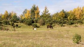 Pasto de caballos Foto de archivo libre de regalías