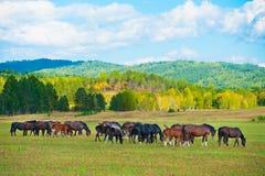 Pasto de caballos en el pasto Imagenes de archivo