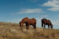 Pasto de caballos en la estepa. Imagen de archivo libre de regalías