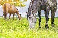 Pasto de caballos en prado del verano fotos de archivo