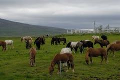 Pasto de caballos islandeses Imagen de archivo libre de regalías