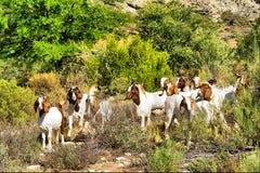 Pasto de cabras africanas fotos de archivo