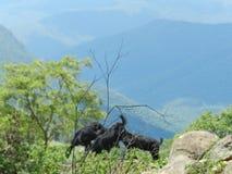 Pasto de cabras en el medio del bosque denso fotos de archivo