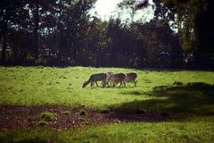 Pasto de ciervos fotografía de archivo libre de regalías