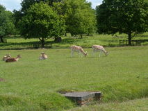 Pasto de ciervos en paisaje del Parkland de Bradgate imagenes de archivo