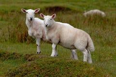 Pasto de corderos Imagenes de archivo