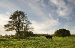 Pasto de ganado Fotos de archivo libres de regalías