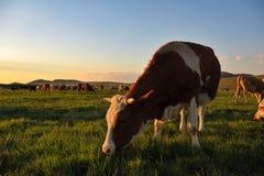 Pasto de ganado en el prado de Guyuan imagen de archivo