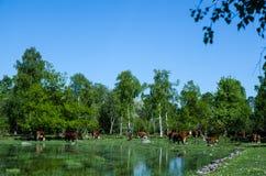 Pasto de ganado en la charca Foto de archivo libre de regalías