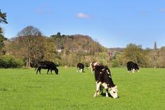 Pasto de ganado en un prado inglés Imágenes de archivo libres de regalías
