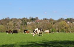 Pasto de ganado en un prado inglés Foto de archivo