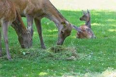 Pasto de hinds o de la hembra de los ciervos comunes con el cervatillo de reclinación en prado del verano Fotografía de archivo