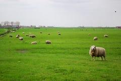 Pasto de Holanda con los sheeps Foto de archivo libre de regalías
