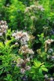 Pasto de la abeja del tanacetifolia- de Blomming Phacelia Imágenes de archivo libres de regalías