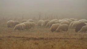Pasto de la manada de ovejas en pasto otoñal seco en el top del paisaje montañoso tiro Multitud de las ovejas que caminan en de n metrajes