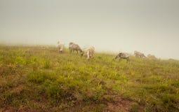 Pasto de la meseta de la montaña de las nubes bajas de las ovejas Foto de archivo libre de regalías
