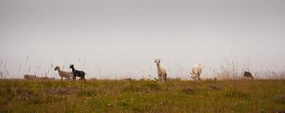 Pasto de la meseta de la montaña de las nubes bajas de las ovejas Fotos de archivo libres de regalías