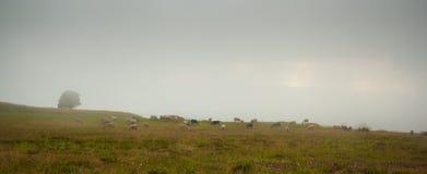 Pasto de la meseta de la montaña de las nubes bajas de las ovejas Fotos de archivo