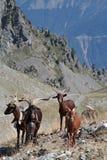 Pasto de la montaña en las montañas francesas Foto de archivo