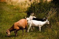 Pasto de la multitud de cabras foto de archivo