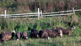 Pasto de la multitud de ovejas en pasto metrajes