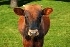 Pasto de la vaca Fotos de archivo