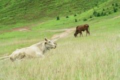Pasto de la vaca Foto de archivo libre de regalías