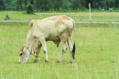 Pasto de la vaca Fotos de archivo libres de regalías