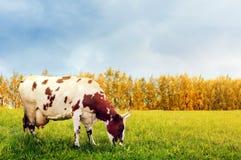 Pasto de la vaca Foto de archivo