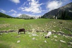 Pasto de la vaca en las montañas imagen de archivo