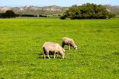 Pasto de las ovejas imagen de archivo