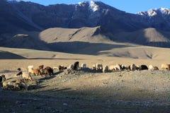 Pasto de las ovejas en las montañas salvajes de Kirguistán Imagen de archivo libre de regalías