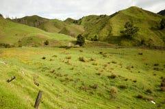 Pasto de las ovejas - Nueva Zelanda Imagen de archivo libre de regalías