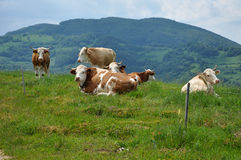 Pasto de las vacas detrás de la cerca eléctrica Fotografía de archivo libre de regalías