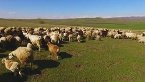 Pasto de los animales de las ovejas que corren en campo verde soleado, cultivo y agricultura almacen de video