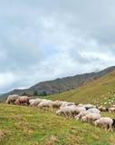 pasto de ovejas Fotografía de archivo libre de regalías