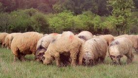 Pasto de ovejas almacen de metraje de vídeo