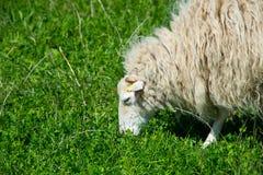 Pasto de ovejas del skudde en Berlín, Alemania foto de archivo