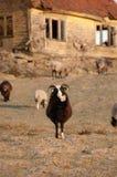 Pasto de ovejas en el campo imagenes de archivo