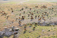 Pasto de ovejas en el desierto de Judea, Israel. fotos de archivo libres de regalías