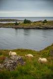 Pasto de ovejas en el puerto noruego Foto de archivo