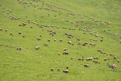 Pasto de ovejas en la montaña Fotos de archivo